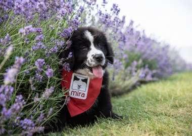 Saint-Pierre Mira dog sitting in the grass