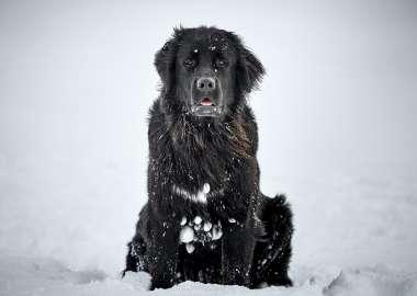 Labernois Mira dog profile