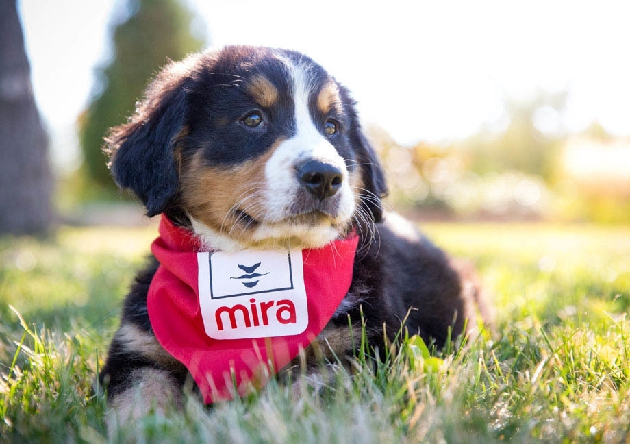 Bernese Bouvier Mira puppy wearing a red scarf lying in the grass