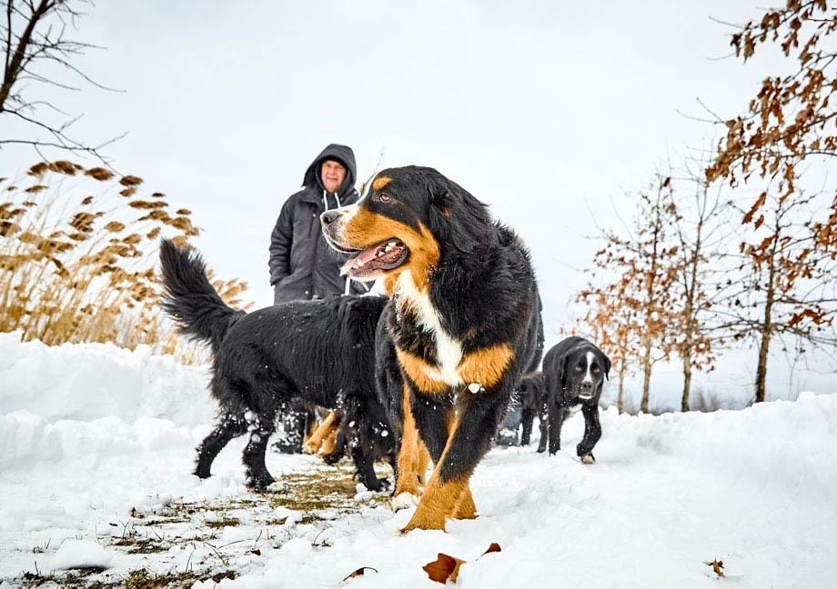 Meute de chiens Mira de type Bouvier Bernois marche dans la neige