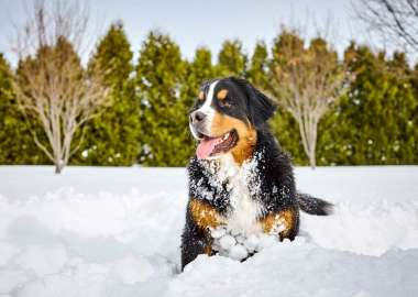 Bernese Mountain Mira dog plays in the snow