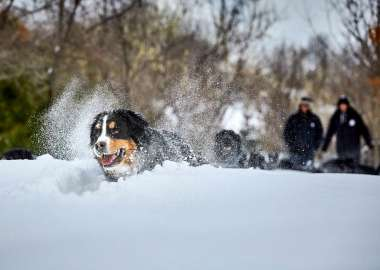 Bernese Mountain Mira dog playing in the snow