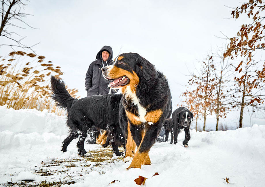 Bernese Mountain Mira dogs walking in the snow