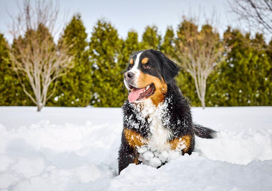 Chien Mira de type Bouvier Bernois joue dans la neige