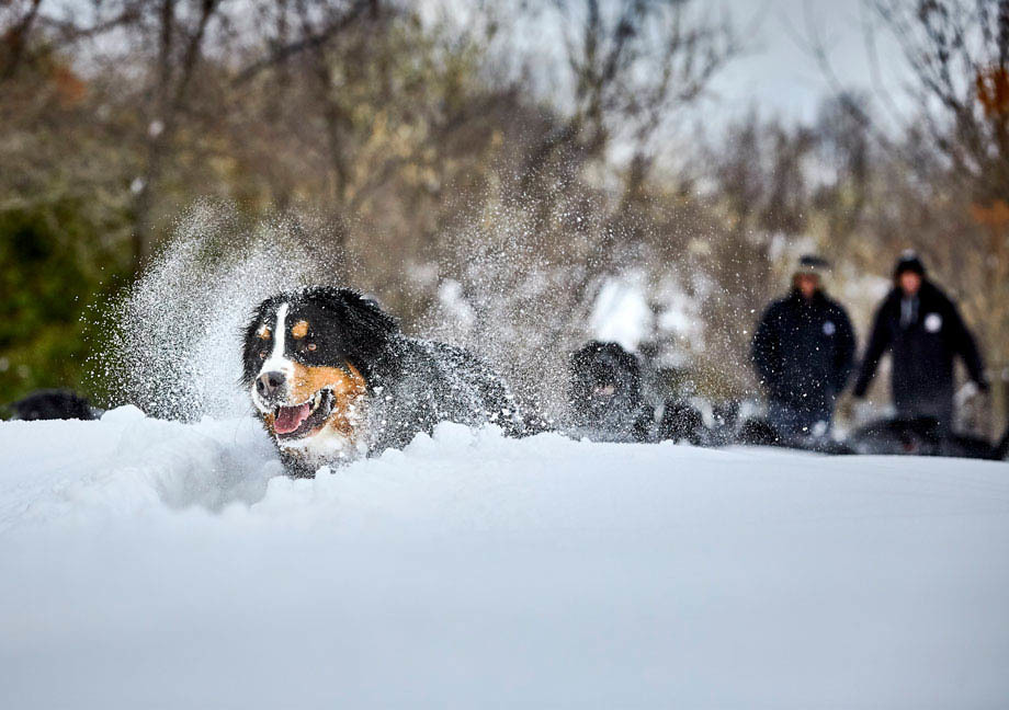 Chien Mira de type Bouvier Bernois qui joue dans la neige