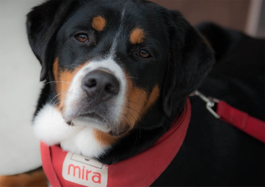 Labernois Mira dog wearing his red scarf