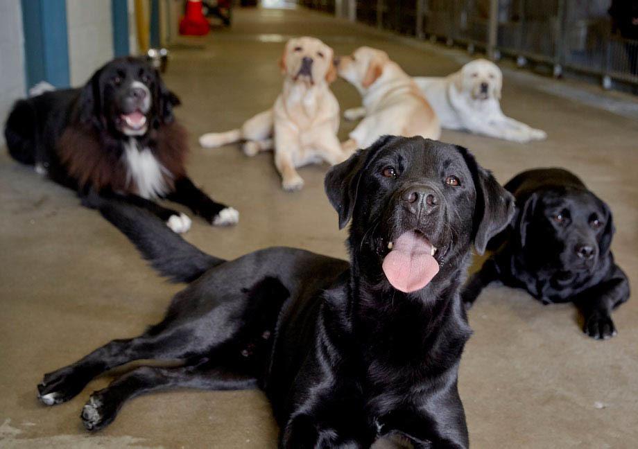 Meute de chiens Mira de type Labrador allongée sur le sol