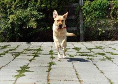 A Labrador dog with a Mira scarf